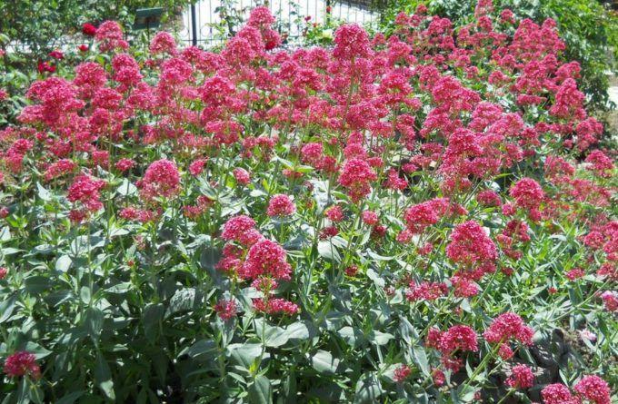Lang bloeiende vaste planten - Centranthus coccineus 'Ruber'