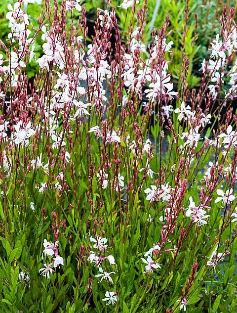 Langbloeiende vaste planten - Gaura lindheimerii