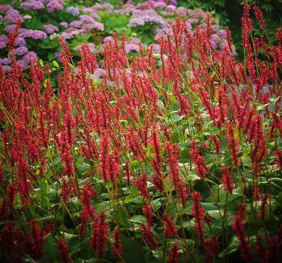 Lang bloeiende vaste planten - Persicaria amplexicaulis