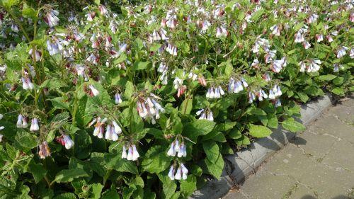 Lang bloeiende vaste planten - Symphytum grandiflorum 'Wisley Bleu'