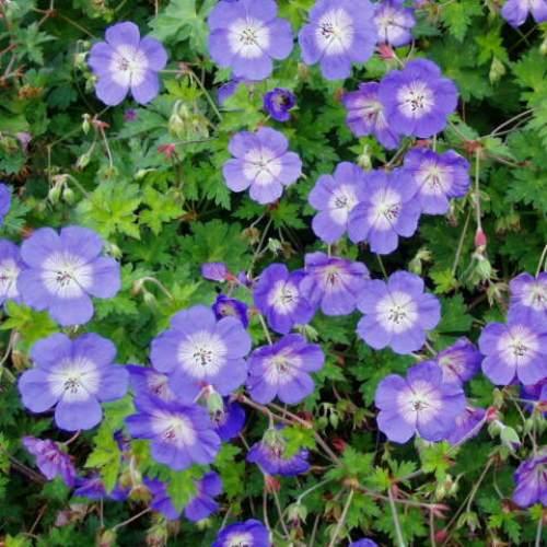 Lang bloeiende vaste planten - Geranium 'Rozanne'